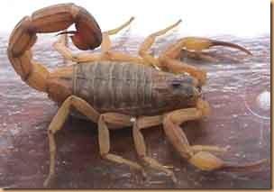 Escorpião-Amarelo atazanando o cerrado