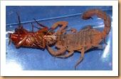 Escorpião comendo uma barata
